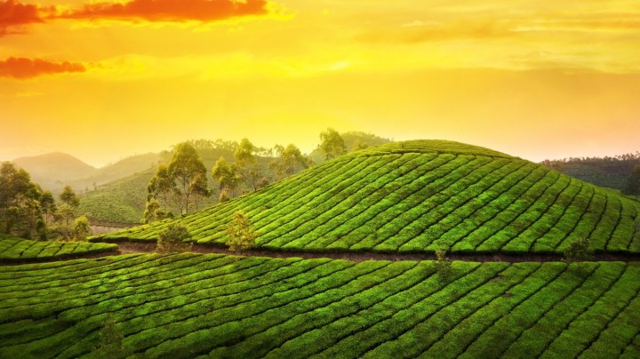Tea hills trees